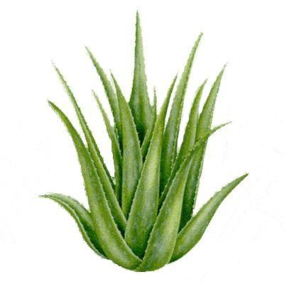Recept a prosztata az Aloe- tól