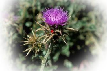 Máriatövis-termés 40g Herbária *